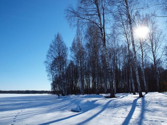 baltic birch,snow,landscape,sun,winter,cold,blue sky