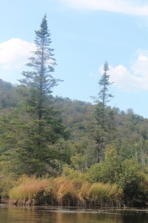 cedar, tree, wood, river, nature, bush, forest