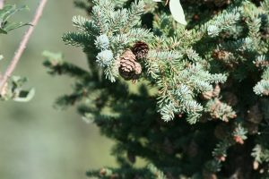 spruce, tree, wood, cone, lumber, green, needles, nature