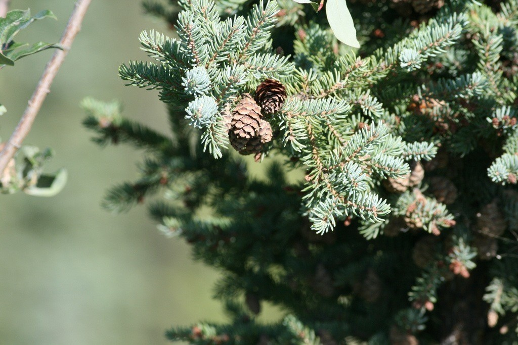 spruce, tree, wood, cone, lumber, green, needles, nature