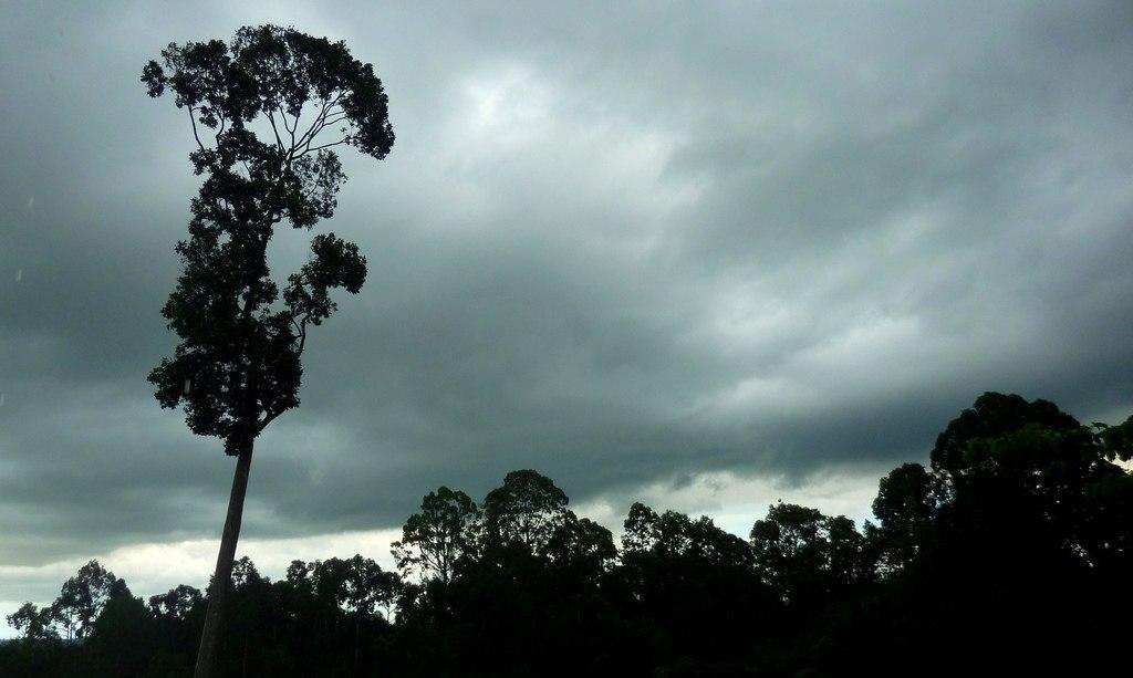 lauan, white, storm, tree, wood, forest, rainforest, rain, clouds, sky, dark, nature
