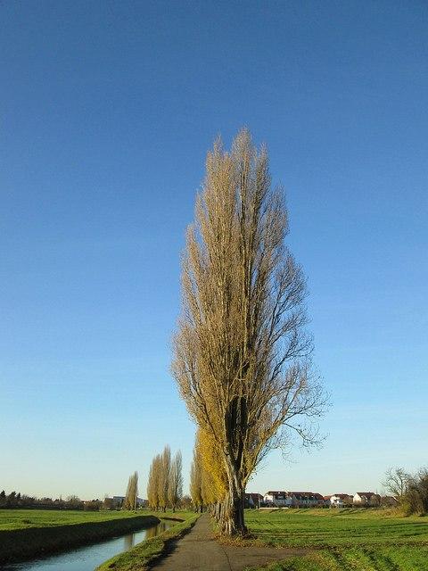 poplar, tree